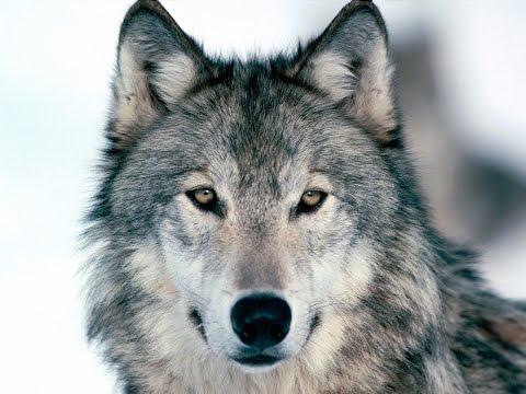 U2 - U2 - Raised By Wolves (Official Fan Video)