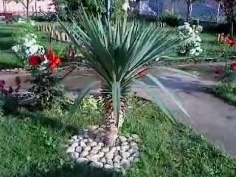 yucca gloriosa juka palma kraljevo serbia youtube. Black Bedroom Furniture Sets. Home Design Ideas
