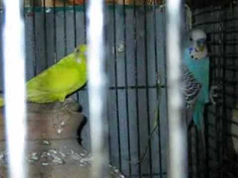 Syed Shujaat Ali Birds Farm  Part 5 Steel Town Gulshan-E-Hadeed Karachi