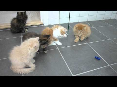 Persian kittens playing with bug
