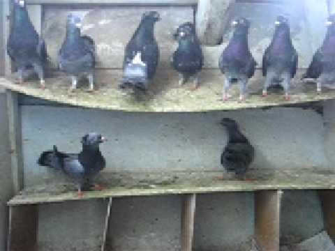 Simini golubovi