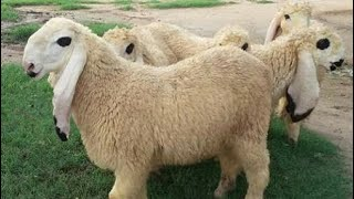 sheep farming pakistan  goat meat farming uk  information about goat in urdu