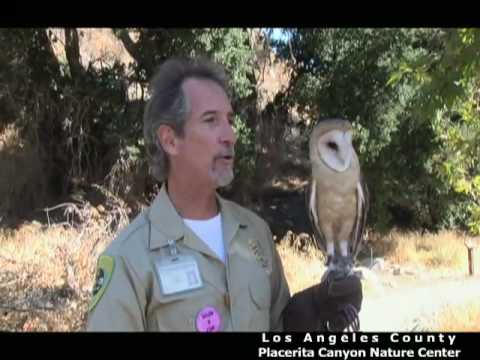 Hopi the Barn Owl