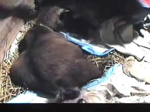 Amazing Pygmy Goat Triplet Birth