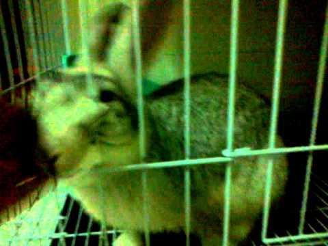 Chinchilla Rabbit Mix Giant Chinchilla Mix