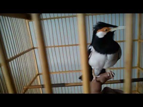 cara merawat jalak suren video burung