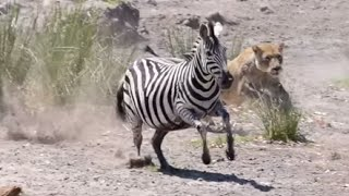 "Lioness try to hunt Zebra but fails !! Seen In Kruger Park ""Sweni river"""