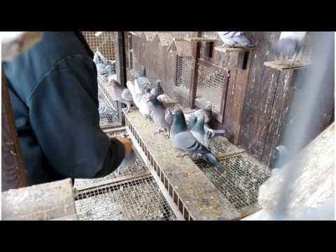 Porady Hodowlane: Oswajanie Gołębi Pocztowych Z Ręką