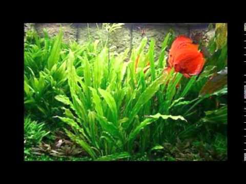 Freshwater Aquarium Plants Identification Freshwater Aquarium Plant