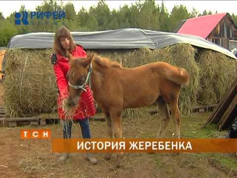 В Перми спасли жеребенка, который находился на волосок от гибели