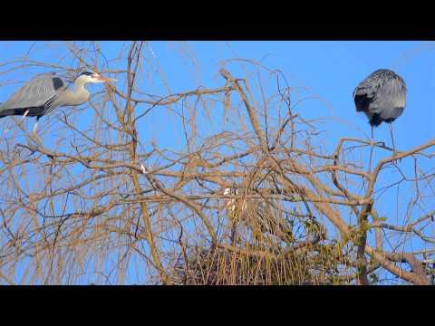 Graureiher - Nestbau und erste Paarung