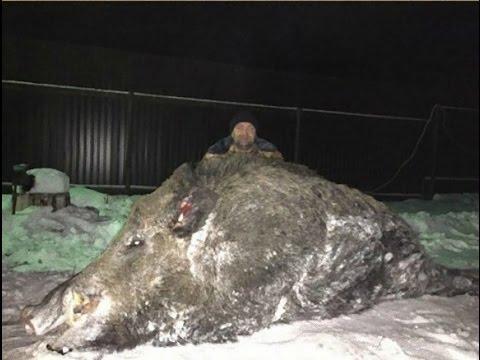 【衝撃】クマよりでかいかも!ロシアで体重535キロの巨大イノシシが捕獲される