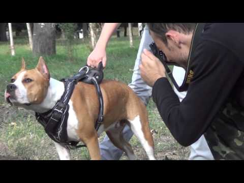 Pitbull leather dog harness  - be in control handle help you for safe walking with your pet!