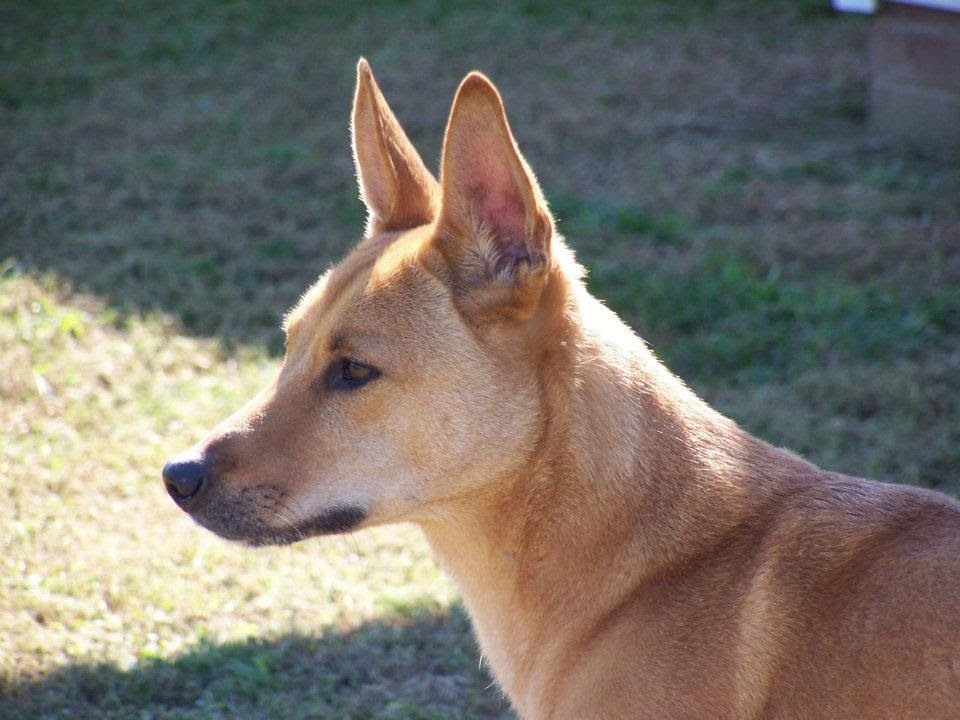 My Dog Looks Like A Dingo