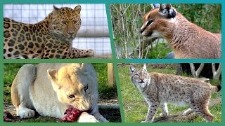 Big Cat Competition - Earth Unplugged
