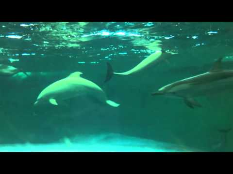 Taiji, Japan - Shoujo, the albino dolphin, seen from aquarium