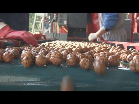 Выращивание интенсивных сортов ореха значительно улучшит благосостояние жителей Гагаузии