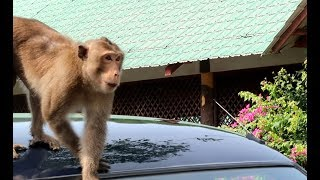 Bầy khỉ xã hội đen cướp đồ, móc túi ở Cần Giờ