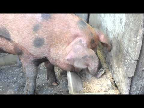 Pigs at Oconaluftee Visitor Center Video