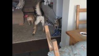German Shepherd to the Rescue || ViralHog