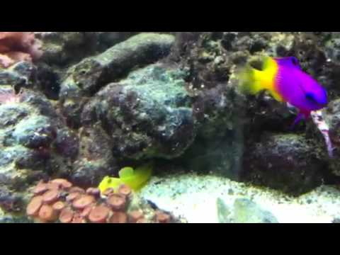 Yellow Watchman Goby For Sale a Yellow Watchman Goby