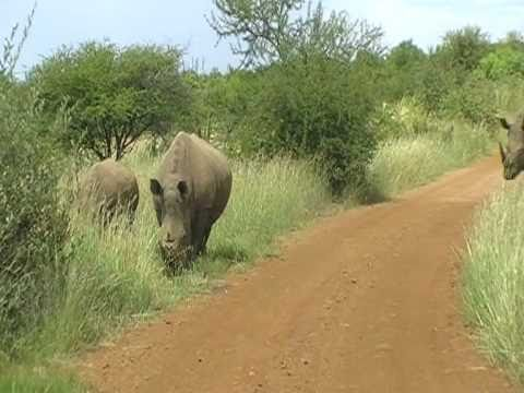 Kruger Park South Africa - Endangered white rhinos