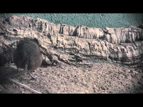 Minuutin eläin: lyhytkorvakuonokas