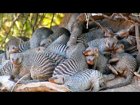 Science Bulletins: African Mongooses—New Carriers for Human Disease