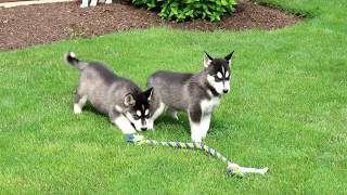 Siberian Husky Mix Puppies for Sale