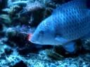 ナポレオン 魚