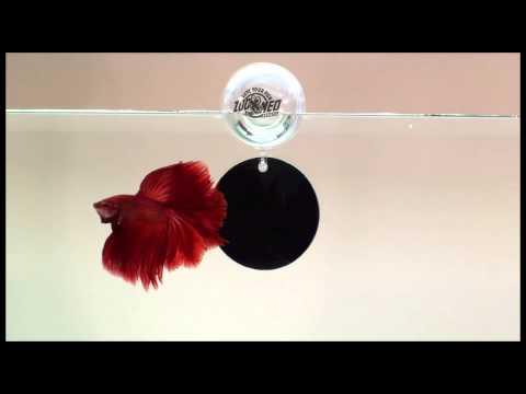 Zoo Med - Floating Betta Exercise Mirror   Big Al's