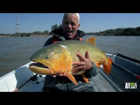 Meet the 39 lightning fast super lacerater 39 golden dorado for Golden dorado fish