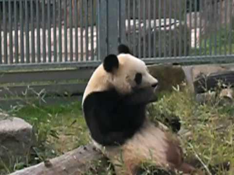 王子動物園パンダ KOBE OJI ZOO PANDA