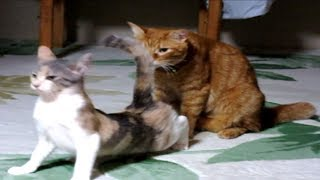 子猫発情 メスの生理現象に困惑するオス猫「なに?イライラしてんの?」
