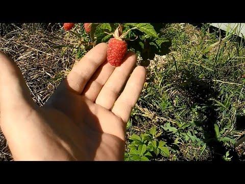 Малина,размножаем семенами