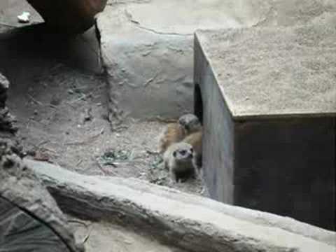 上野動物園のミーアキャットの赤ちゃん Uenozoo meerkat baby