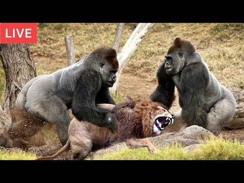 LIVE : Gorilla Attack Lion Save Team | Moments Of Animal Fight Battle - Wild Animal Planet 2018 thumbnail