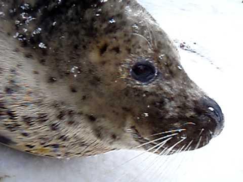 おびひろ動物園 2010.12.31 ゴマフアザラシ