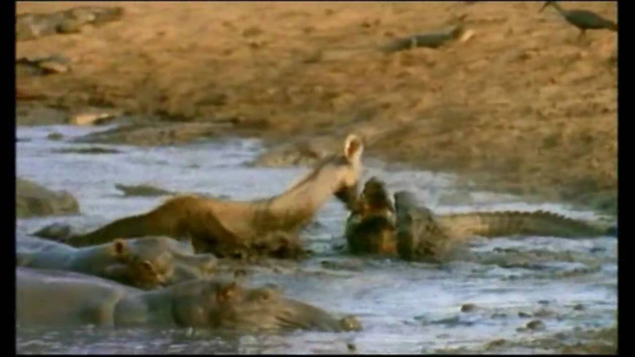 Crocodile Vs Lion | Lion Loses Battle And Seriously