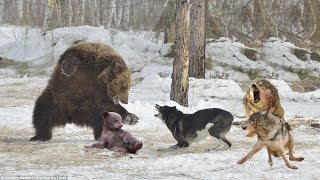 BEAR VS WOLF | Brave Mother Bear Protects Baby Bear From Wolf Hunting