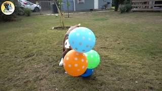 Boxer Dog BALLOON MAYHEM!!!