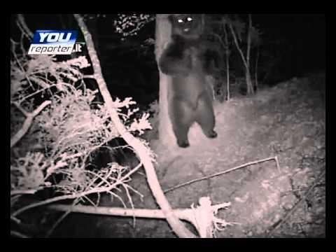 Orso ballerino del Trentino – Dancing teddy bear