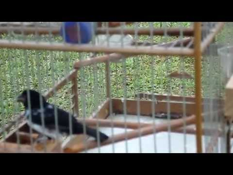 Trini Bullfinch..... Splash..... video