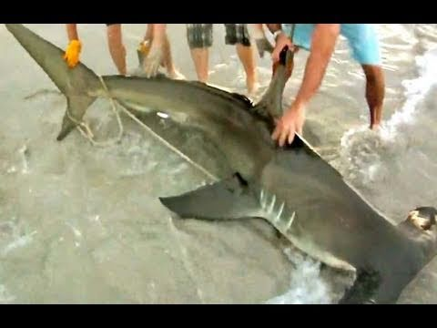 Monster Hammerhead Shark on the Beach