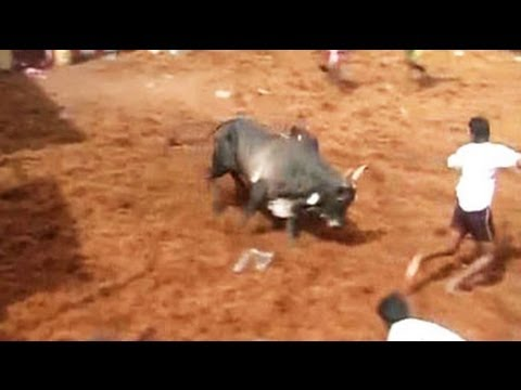 Should Jallikattu Be Banned? video