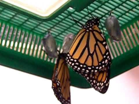 AMAZING Monarch Butterfly emerges out of its' shell.  A TRUE MIRACLE!!!