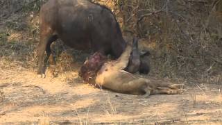 Epic Lion/Buffalo battle at Mwamba Bush Camp Photographic Hide