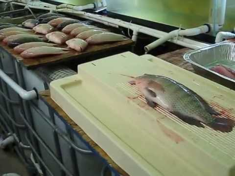 Home Tilapia Production with DIY Small Scale Aquaculture System and Greenhouse - Vid #12