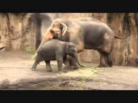Endangered Asian Elephant Video