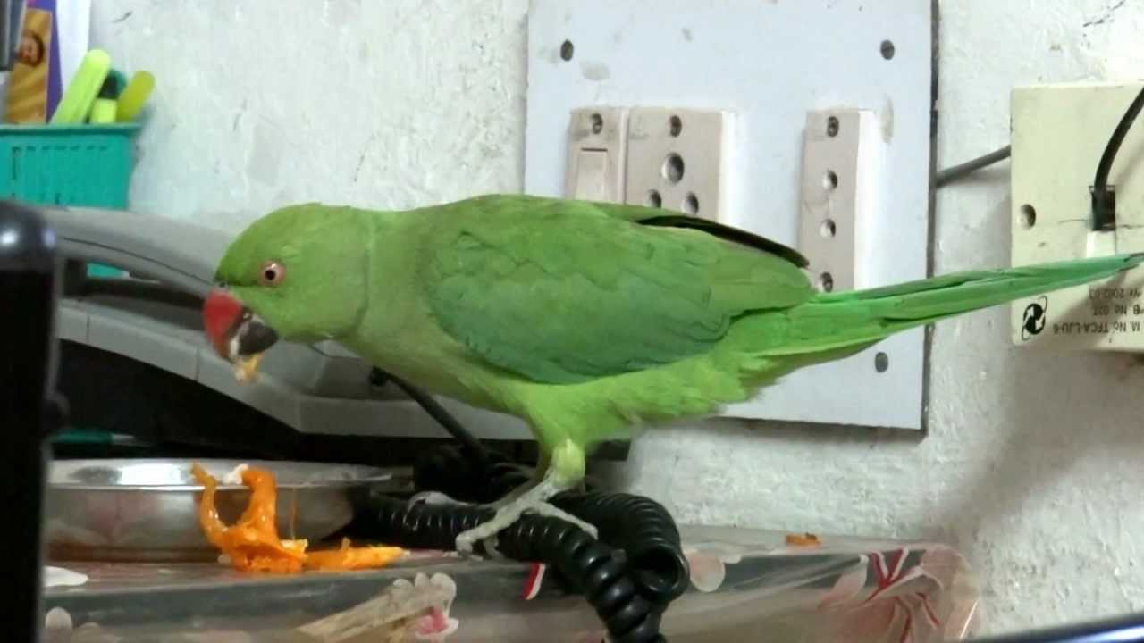 Green Parrot Food Indian Green Parrot